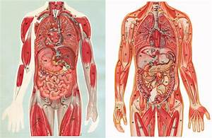 Mid U2010twentieth U2010century Anatomical Transparencies And The