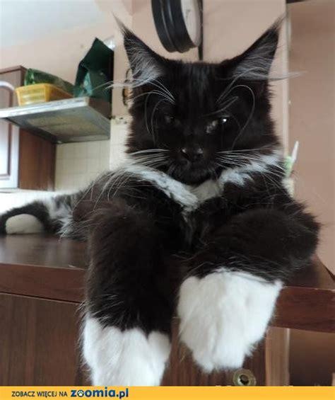 kocurek czarny z białym 171 maine coon 171 koty 171 archiwum