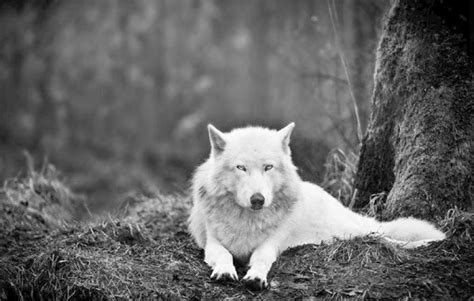 black  white wolf wallpaper gallery