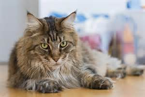 what cat breed are you about the maine coon cat breed about cat breeds
