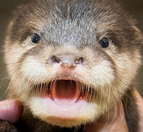 cute pictures  baby otters  cleveland zoo  viral