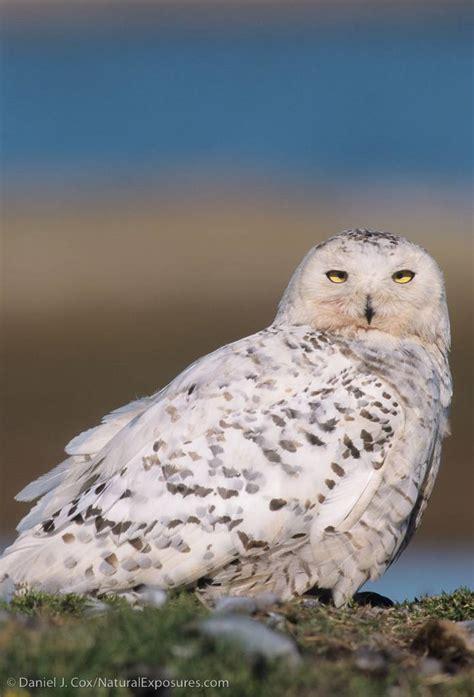 snowy owl live chat today 7 18 noon pt 3pm et explore