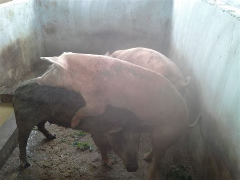 heat ls for pigs crossing sows on heat pig farming in ghana pig farming