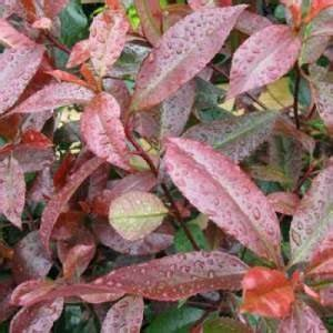 Photinia Fraseri Robusta Compacta : cheap photinia little red robin topiary plants for sale cheap topiary plants uk buy topiary ~ Buech-reservation.com Haus und Dekorationen