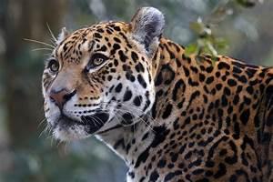 Wildlife guide to the Pantanal  Jaguar