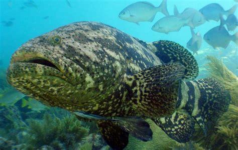 kerapu ikan grouper umpan keluarga kenali nama perkataan dipercayai berasal bagaimanapun walau meluas amat dari