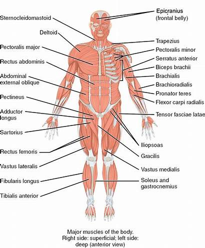 Muscles Trunk System Human Major Anterior Superficial