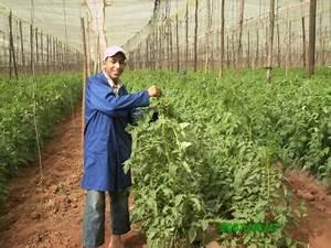 Comment Tuteurer Les Tomates : youssef fait le palissage de tomate techniciensspecialises ~ Melissatoandfro.com Idées de Décoration