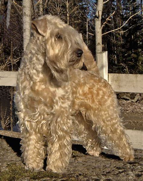 wheaten terriers do they shed the breed