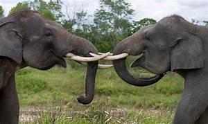Sumatran Elephant (Elephas maximus sumatranus)   about animals