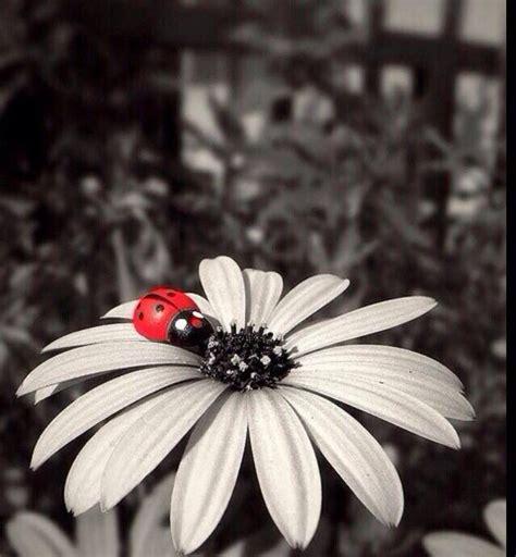 ladybug   white flower ladybug beautiful flowers
