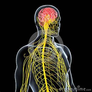 Nervous System Of Male Front Side View Royalty Free Stock