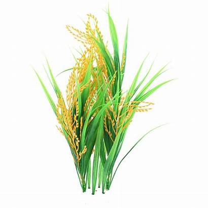 Rice Plant Clip Paddy Background Agriculture Transparent