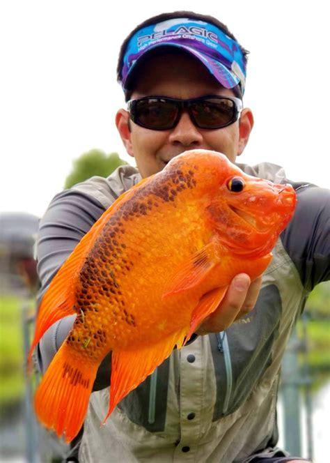 midas cichlids cichlid florida hump head miami south caught peacock bass clown catch fishing nice mojarra