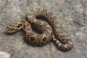 Eastern Hognose Snake   Reptile & Amphibian Discovery Zoo