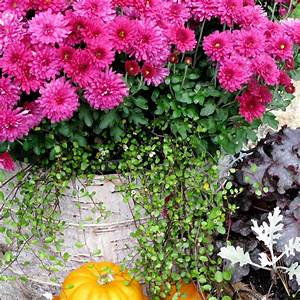 Birch, Bark, Covered, Nursery, Pot, With, Mums, And, Wirevine