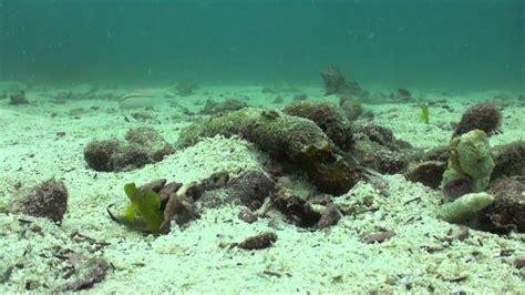odd couple goby fish pistol shrimp hd youtube
