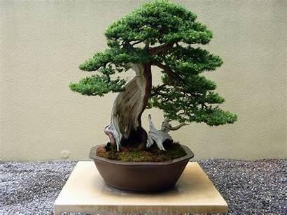 Bonsai Tree Plants Trees Desktop Wallpapers Types