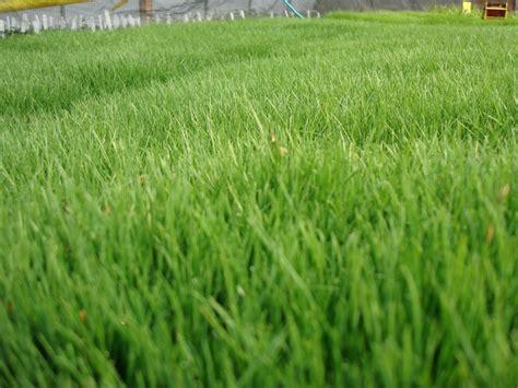 Eco-lawn's Fine, Soft Blades