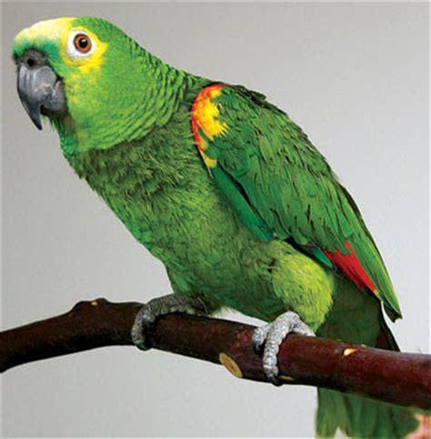 pet parrot parrots in india