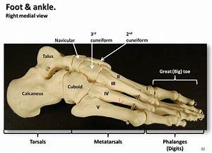 Bones Of The Foot And Ankle  Medial View With Labels