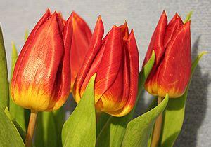 tulpen bei florakingde das original