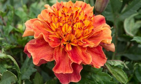 French Marigolds Are Small But Their Usefulness Is Not To