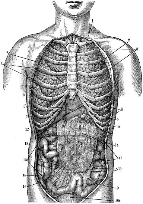 internal anatomy clipart