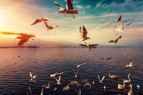 wallpaper seagulls sunset hd  animals