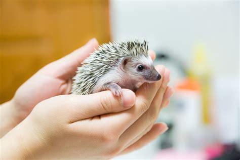 tiny bathroom decorating ideas how to handle a hedgehog tips and handling basics