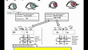 Genetic Crosses - The Test Cross  Ib Biology
