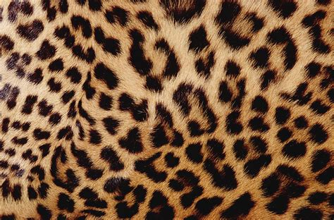 Jaguar Print by Jaguar Panthera Onca Fur Up Photograph By Gerry Ellis