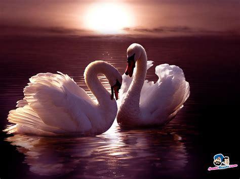 Dengan memadukan background seperti emas, hasil editanmu di picsay pro atau picsart menjadi semakin. Swans In Love Wallpapers | WeNeedFun