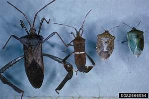 True Bugs   Hemiptera