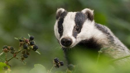 uk expands kill zone  badgers  fight  bovine