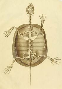 Turtle Anatomy  1821   U2013 The Public Domain Review