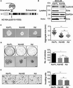Prevention Of Colxvii Shedding Suppresses Scc Growth And