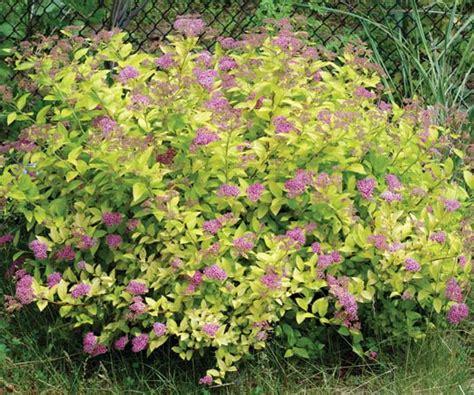 spirea plant spirea plant britannica com