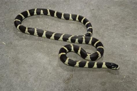 california kingsnake facts  pictures reptile fact