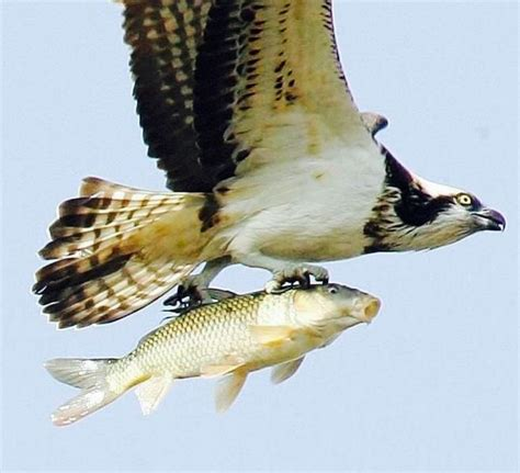 eagle carrying  fish  images birds beautiful