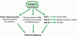 The Role Of Ribosome Biogenesis In Skeletal Muscle
