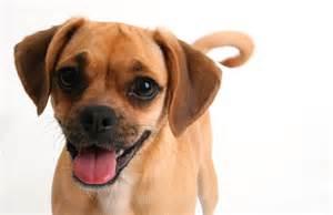 puggle dog breeds at mypetsmart com