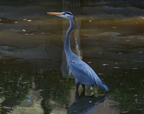 great blue heron range a website on birds of the world