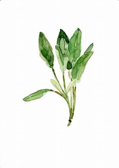 Watercolor Leaves Sage Herb Botanical Herbs Illustration