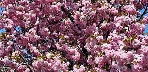 Rosa Blüten Baum : rosa wallpaper kostenlos ~ Yasmunasinghe.com Haus und Dekorationen