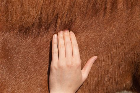 Faszien Massage Pferd