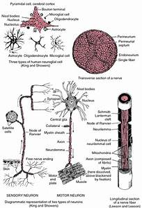What Function Does The Efferent Nerve Fiber Serve