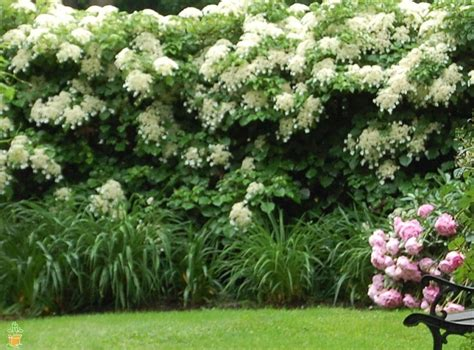 Climbing Hydrangea For Sale  The Planting Tree