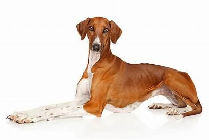 Azawakh Dog Weirdest Breeds Hybrid Never Knew