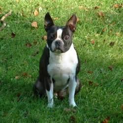 Boston Terrier Full-Grown